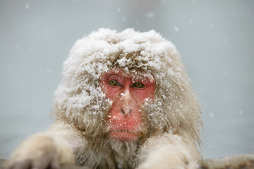 PRM 02 WF0009 01 © Kimball Stock Head Shot Of Snow-Covered Japanese Macaque