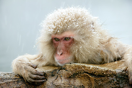 PRM 02 WF0010 01 © Kimball Stock Head Shot Of Snow-Covered Japanese Macaque In Hot Pool