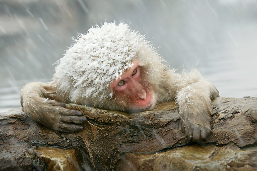 PRM 02 WF0011 01 © Kimball Stock Head Shot Of Snow-Covered Japanese Macaque In Hot Pool