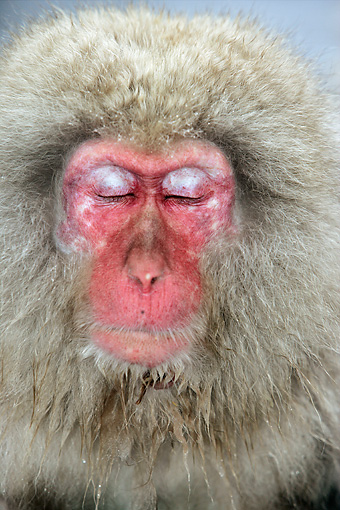 PRM 02 WF0012 01 © Kimball Stock Head Shot Of Japanese Macaque With Eyes Closed