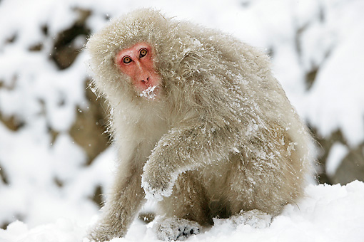 PRM 02 WF0013 01 © Kimball Stock Japanese Macaque Sitting On Snow