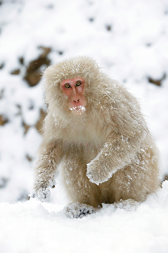 PRM 02 WF0014 01 © Kimball Stock Japanese Macaque Sitting On Snow