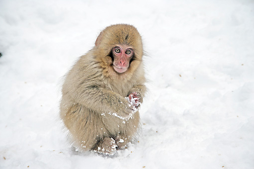 PRM 02 WF0015 01 © Kimball Stock Japanese Macaque Baby Playing In Snow