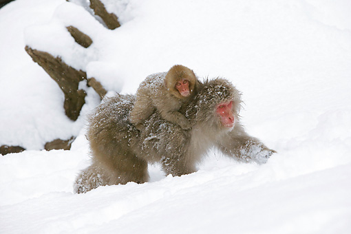 PRM 02 WF0016 01 © Kimball Stock Japanese Macaque Baby Riding On Mother's Back In Snow