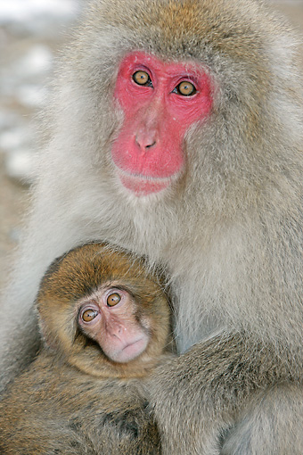 PRM 02 WF0017 01 © Kimball Stock Close-Up Of Japanese Macaque Mother And Baby Sitting By Hot Pool