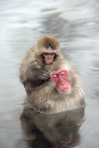 PRM 02 WF0018 01 © Kimball Stock Japanese Macaque Mother And Baby Relaxing In Hot Pool