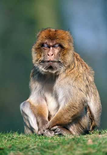 PRM 02 WF0020 01 © Kimball Stock Portrait Of Barbary Macaque Sitting On Grass Gibraltar