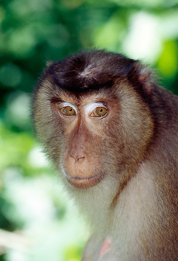 PRM 02 JM0001 01 © Kimball Stock Head Shot Of Pig-Tailed Macaque Monkey