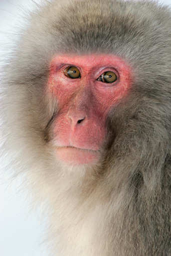 PRM 02 KH0004 01 © Kimball Stock Head Shot Of Japanese Macaque (aka Snow Monkey)