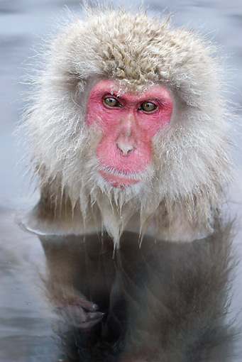 PRM 02 KH0005 01 © Kimball Stock Head Shot Of Japanese Macaque (aka Snow Monkey) Sitting In Hot Spring