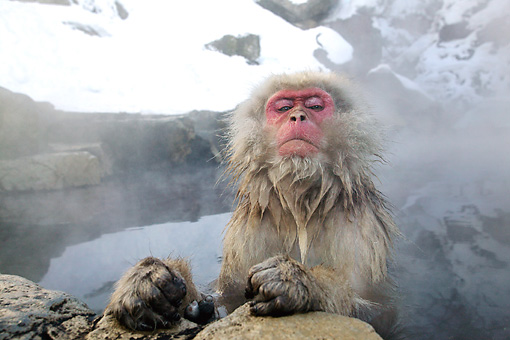 PRM 02 KH0006 01 © Kimball Stock Japanese Macaque (aka Snow Monkey) Sitting In Hot Spring