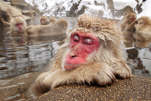 PRM 02 KH0007 01 © Kimball Stock Japanese Macaque (aka Snow Monkey) Sitting In Hot Spring