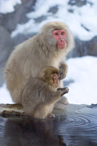 PRM 02 KH0009 01 © Kimball Stock Japanese Macaques (aka Snow Monkeys) Sitting On Rock By Water