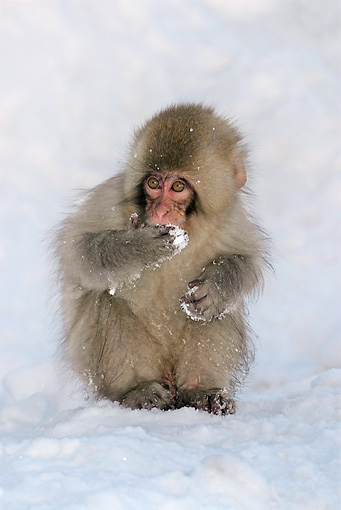 PRM 02 KH0013 01 © Kimball Stock Juvenile Japanese Macaque (aka Snow Monkey) Sitting On Snow Covering Mouth With Hand