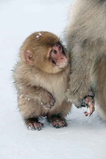 PRM 02 KH0014 01 © Kimball Stock Juvenile Japanese Macaque (aka Snow Monkey) Sitting On Snow Mother Holding Hand