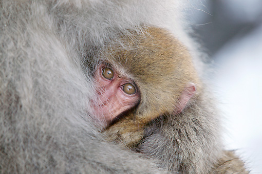 PRM 02 KH0015 01 © Kimball Stock Close-Up Of Juvenile Japanese Macaque (aka Snow Monkey) Hugged By Mother