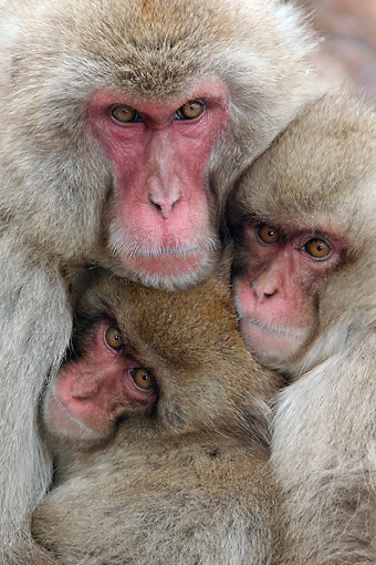 PRM 02 KH0016 01 © Kimball Stock Close-Up Of Japanese Macaque (aka Snow Monkey) Mother Hugging Babies
