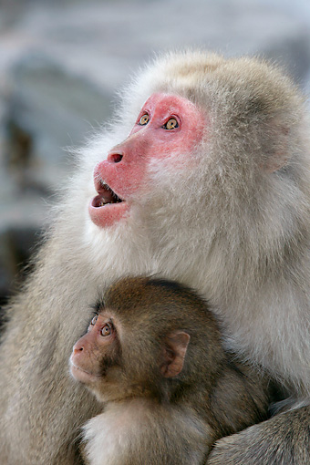 PRM 02 KH0017 01 © Kimball Stock Close-Up Of Japanese Macaque (aka Snow Monkey) Mother And Baby Looking Up