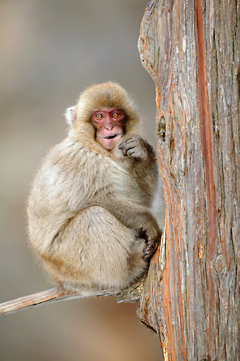 PRM 02 KH0018 01 © Kimball Stock Japanese Macaque (aka Snow Monkey) Sitting On Tree Branch