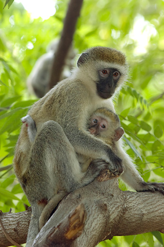 PRM 02 NE0001 01 © Kimball Stock Vervet Monkey Mother And Baby Sitting On Tree Branch Kenya