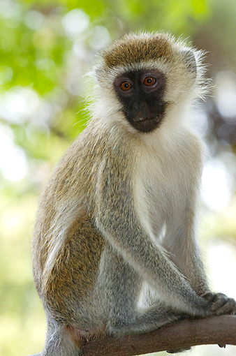 PRM 02 NE0002 01 © Kimball Stock Vervet Monkey Sitting On Tree Branch Kenya