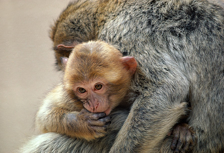 PRM 02 RK0006 06 © Kimball Stock Monkey Infant Cuddling With Mother
