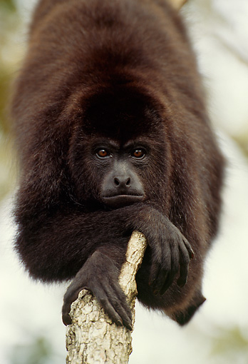 PRM 02 TL0001 01 © Kimball Stock Portrait Of Guatemalan Howler Monkey Resting On Branch