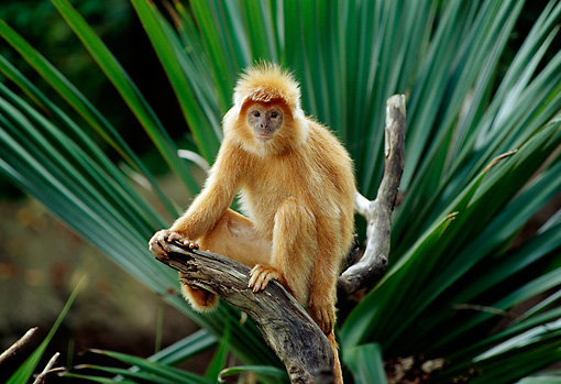 PRM 02 TL0002 01 © Kimball Stock Javan Langur Sitting On Branch By Palm