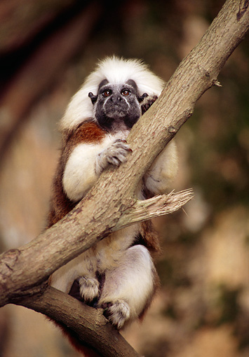 PRM 02 TL0005 01 © Kimball Stock Portrait Of Cotton-Top Tamarin Sitting On Tree Branch
