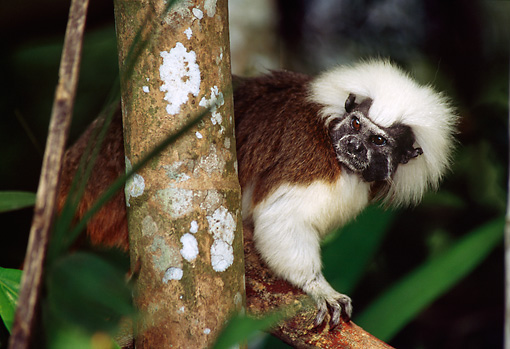 PRM 02 TL0006 01 © Kimball Stock Cotton-Top Tamarin Climbing On Tree Branch