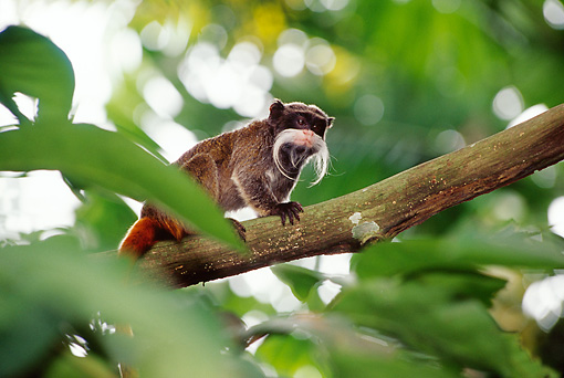 PRM 02 TL0007 01 © Kimball Stock Emperor Tamarin Climbing On Tree Branch Leaves