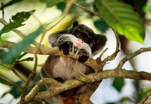 PRM 02 TL0008 01 © Kimball Stock Emperor Tamarin Looking Down From Tree Branch