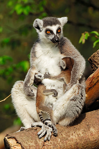 PRM 03 AC0026 01 © Kimball Stock Ring-Tailed Lemur Female Snuggling With Young