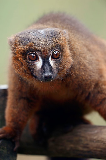PRM 03 AC0027 01 © Kimball Stock Red-Bellied Lemur Portrait In Madagascar