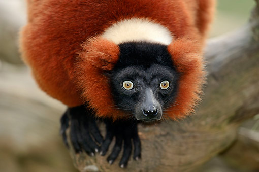 PRM 03 AC0028 01 © Kimball Stock Red Ruffed Lemur Staring From Tree Branch