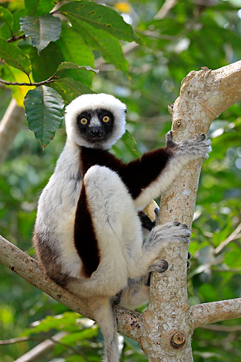 PRM 03 AC0029 01 © Kimball Stock Coquerel's Sifaka Climbing Tree In Madagascar