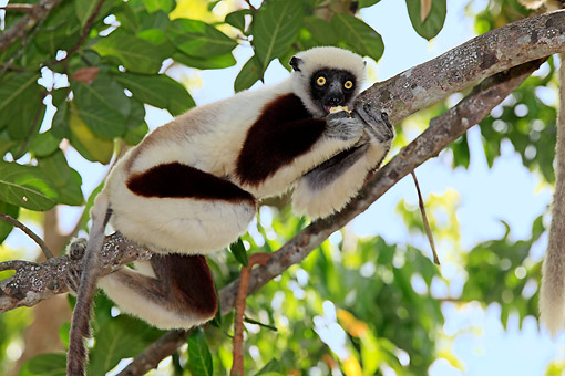 PRM 03 AC0030 01 © Kimball Stock Coquerel's Sifaka Climbing Tree In Madagascar