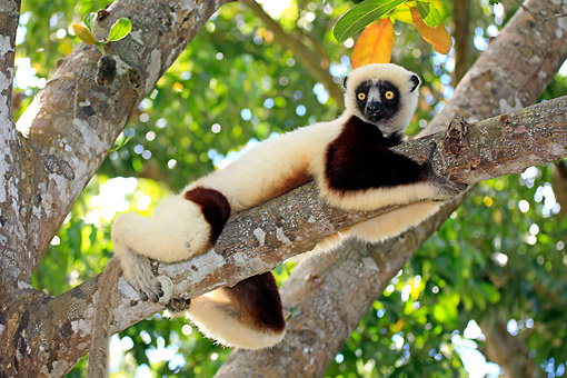 PRM 03 AC0031 01 © Kimball Stock Coquerel's Sifaka Climbing Tree In Madagascar