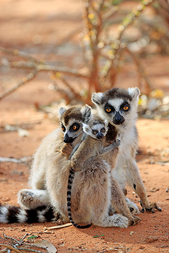 PRM 03 AC0032 01 © Kimball Stock Ring-Tailed Lemur Adults And Young Sitting In Berenty Reserve, Madagascar
