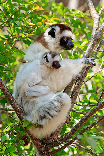 PRM 03 AC0035 01 © Kimball Stock Verreaux's Sifaka Female And Young Sitting In Tree, Madagascar