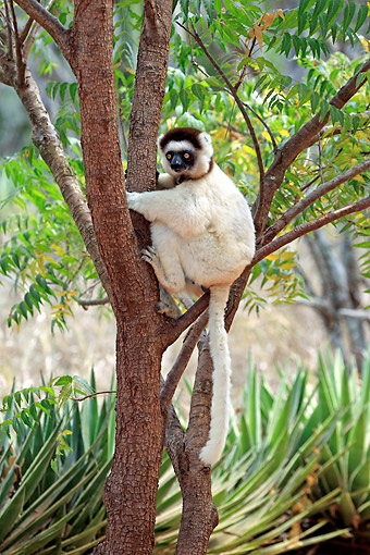 PRM 03 AC0037 01 © Kimball Stock Verreaux's Sifaka Female And Young Sitting In Tree, Madagascar
