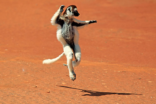 PRM 03 AC0039 01 © Kimball Stock Verreaux's Sifaka Jumping Gracefully, Madagascar