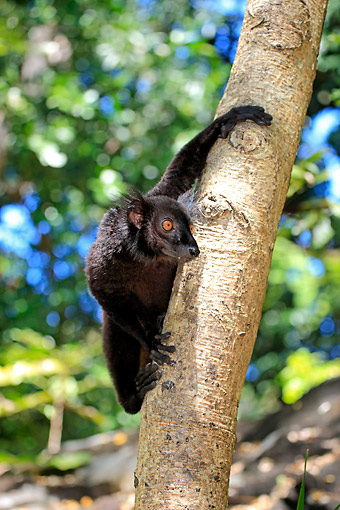 PRM 03 AC0041 01 © Kimball Stock Black Lemur Male Climbing Tree In Nosy Komba, Madagascar