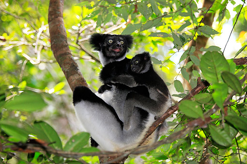 PRM 03 AC0042 01 © Kimball Stock Indri (Also Called Babakoto) Female Holding Young And Sitting In Tree