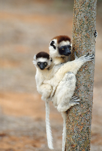 PRM 03 GL0002 01 © Kimball Stock Verreaux's Sifaka Mother Climbing Tree With Baby On Back Madagascar