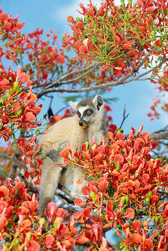 PRM 03 GL0005 01 © Kimball Stock Ring-Tailed Lemur Sitting In Blossoming Tree