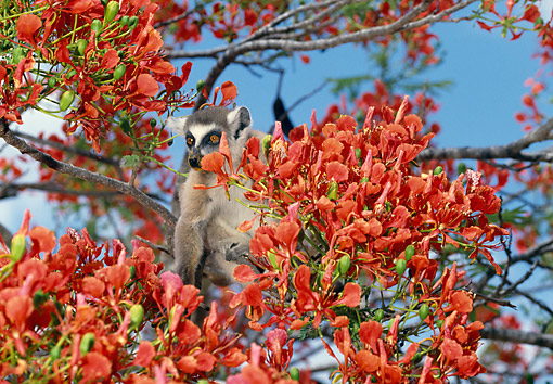 PRM 03 GL0007 01 © Kimball Stock Ring-Tailed Lemur Sitting In Blossoming Tree