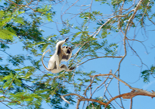 PRM 03 GL0008 01 © Kimball Stock Verreaux's Sifaka Leaping Between Trees In Madagascar