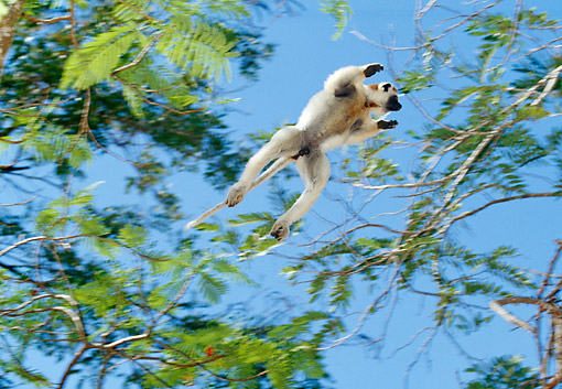 PRM 03 GL0009 01 © Kimball Stock Verreaux's Sifaka Leaping Between Trees In Madagascar