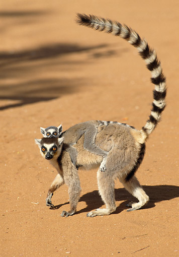 PRM 03 GL0010 01 © Kimball Stock Ring-Tailed Lemur Standing On Sand With Young On Back